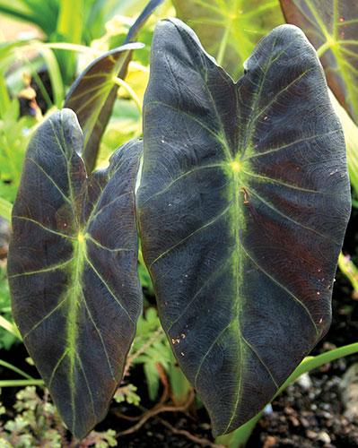 Pdn Colocasia Esculenta Var Antiquorum Black Beauty