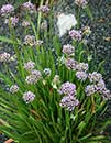 Allium 'Sugar Melt' (Sugar Melt Onion)