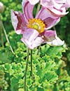 Anemone hupehensis 'Crispa' (Parsley-leaf Japanese Windflower)