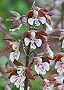 Calanthe discolor (Hardy Calanthe Orchid)