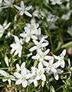 Claytonia virginica A11NC-108 (Virginia Spring Beauty)