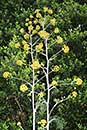 Ferula communis ssp. glauca (Giant Black-leaf Fennel)