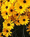 Helianthus angustifolius 'First Light' PP 13,150 (First Light Swamp Sunflower)