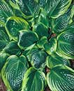 Hosta 'Capitol Hill' (T. Avent 05)