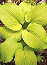 Hosta 'Dancing Queen' (K. Terpening 05)