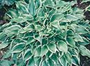 Hosta 'Dixie Chick' (T. Avent 99)