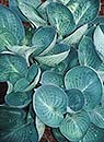Hosta 'Dixie Cups' (T. Avent 07)