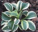 Hosta 'Frosted Mouse Ears' (M. Zilis/ E. & J Deckert 06)