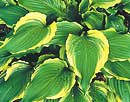 Hosta 'Ginsu Knife' (B. Solberg 02)