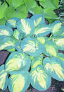 Hosta 'Great Expectations' (J. Bond, P.  Aden 88)