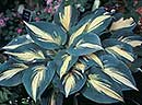 Hosta 'High Society' PP 17,313 (H. Hansen 04)