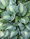 Hosta 'Kiwi Full Monty' (B. Sligh 00)