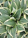 Hosta 'Lakeside Missy Little' (M. Chastain 02)