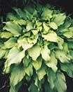 Hosta 'Moon Waves' (M. Plater-Zyberk 94)