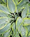 Hosta 'Mourning Dove' PP 17,311 (H. Hansen 06)