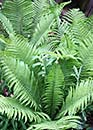 Matteuccia struthiopteris 'The King' (The King Ostrich Fern)