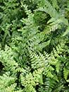 Microlepia strigosa (Rigid Lace Fern)