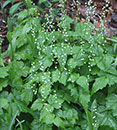 Mitella diphylla (Two-leaf Miterwort)