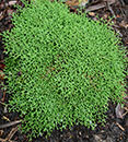 Selaginella sanguinolenta var. compressa (Twiggy Spikemoss)