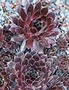 Sempervivum 'Oh My' (Hen and Chicken)