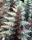 Pewter Lace Fern