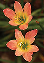 Zephyranthes 'Abacos Apricot' (Bahama August Grass)