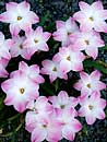 Zephyranthes 'Lily Pies' (Lily Pies Rain Lily)