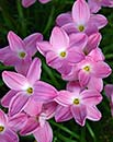 Zephyranthes 'Pink Panther' (Pink Panther Rain Lily)