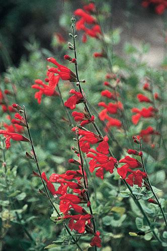 collectors Salvia. Salvia microphylla White Form Very rare